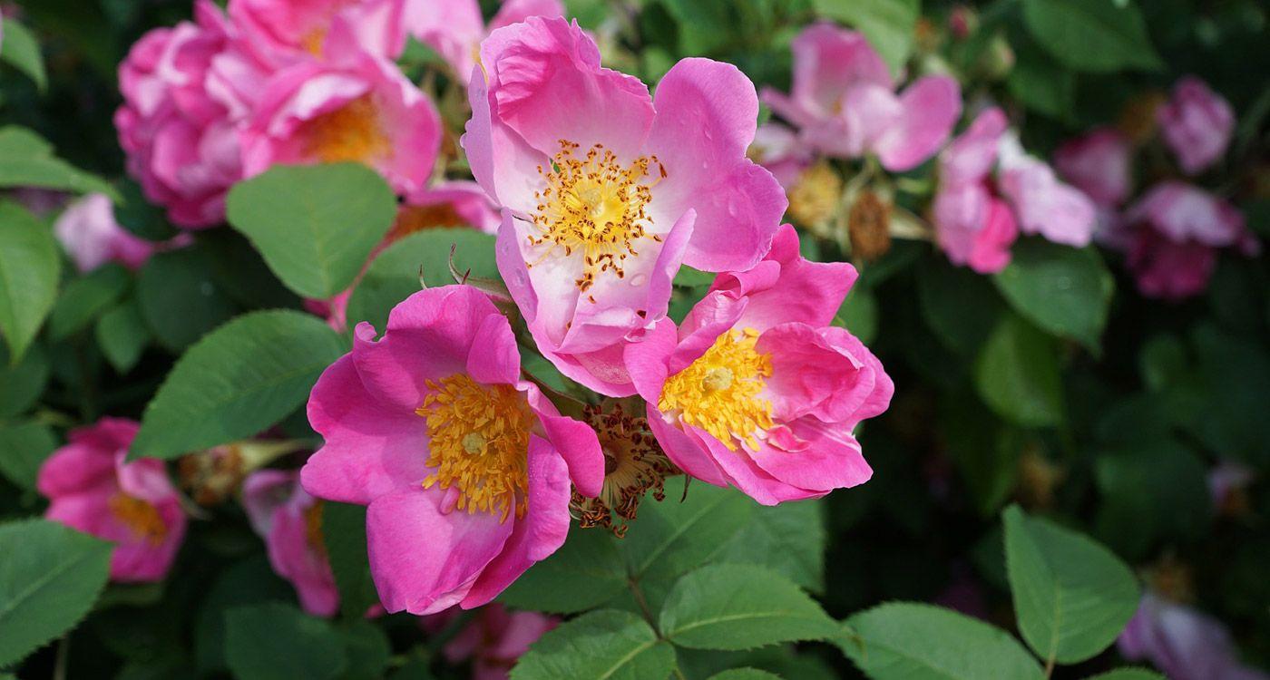 State Flower Of North Dakota
