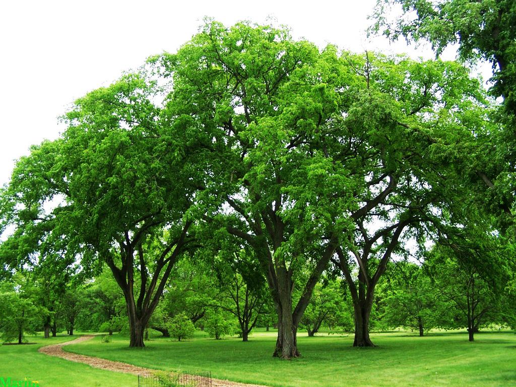 State Tree Of North Dakota