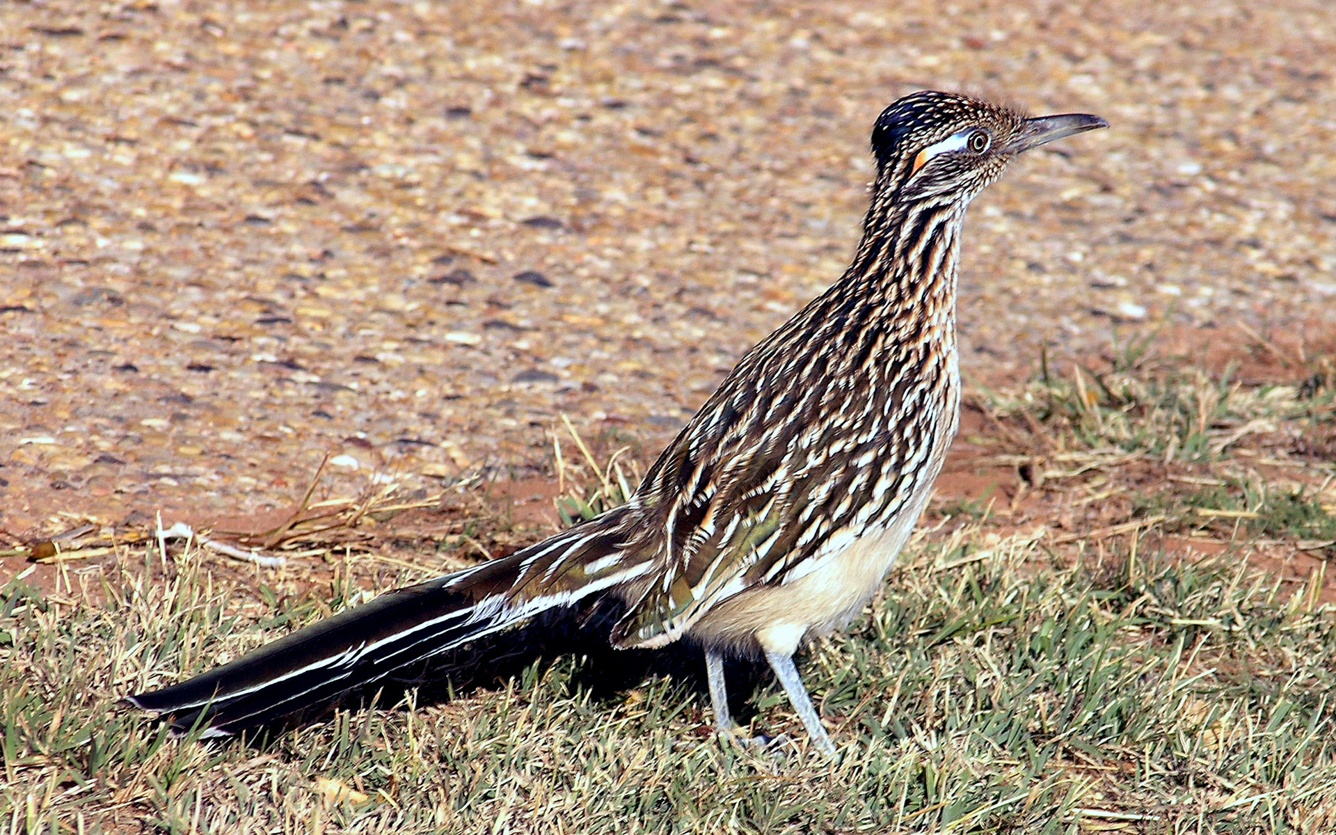 State Bird Of New Mexico