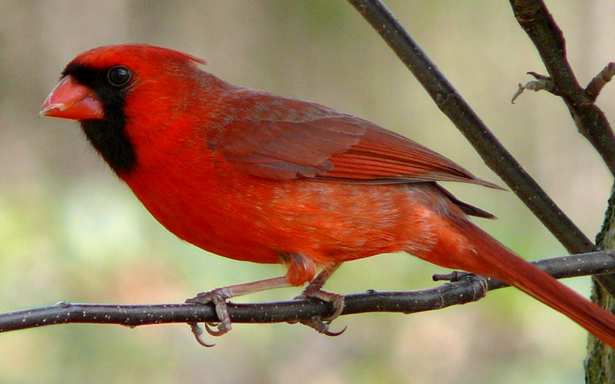State Bird Of Ohio