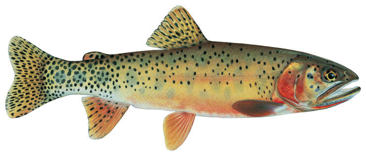 State Fish Of New Mexico