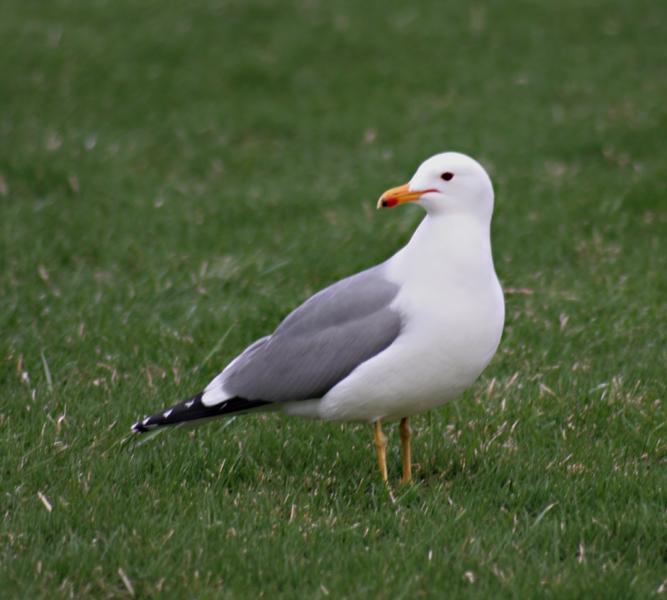 State Bird Of Utah