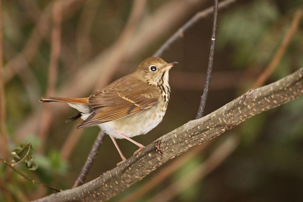State Bird Of Vermont