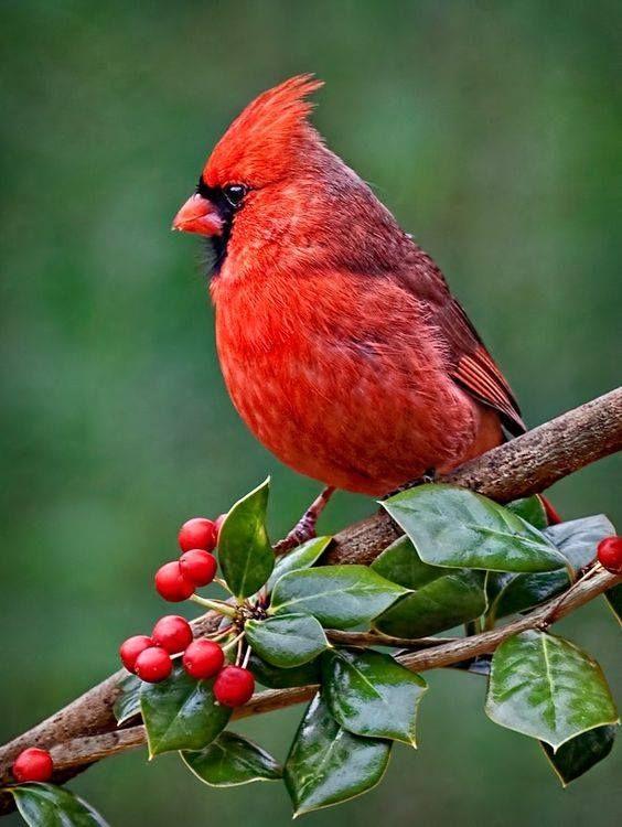 State Bird Of Virginia