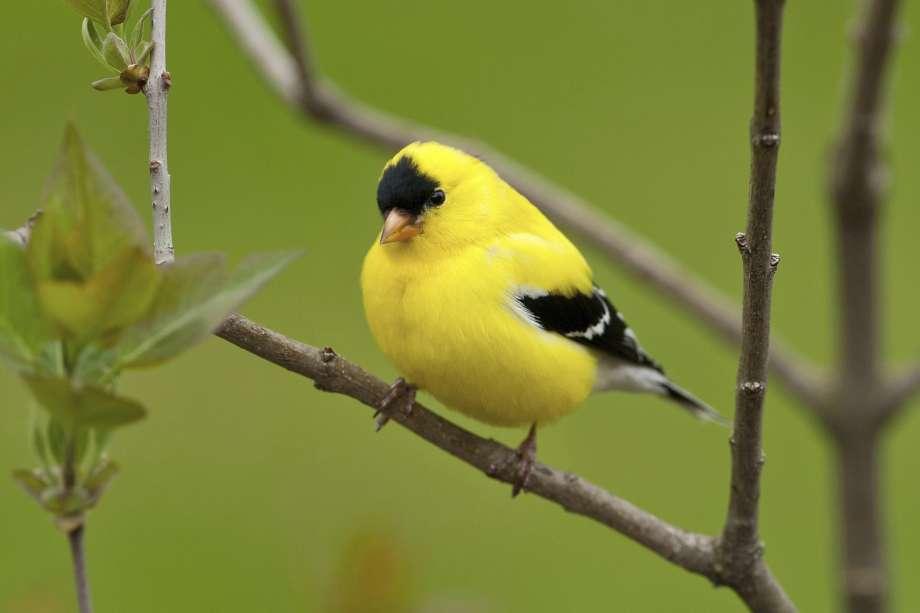 State Bird Of Washington