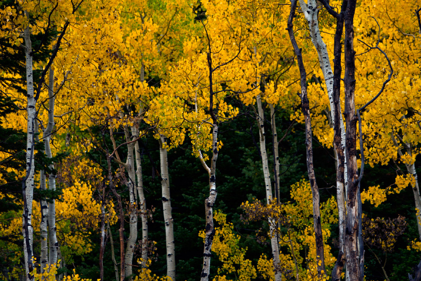 State Tree Of Utah