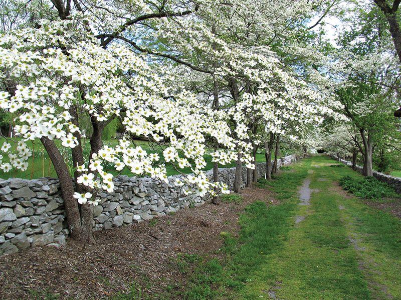 State Tree Of Virginia