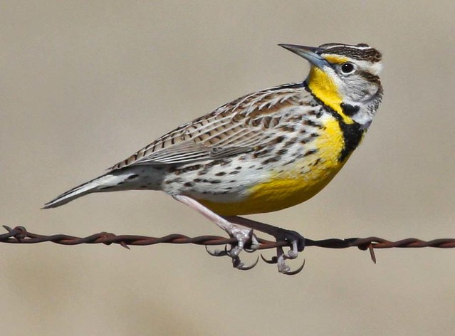 State Bird Of Nebraska