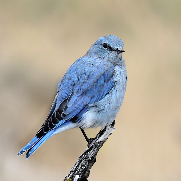 State Bird Of Nevada