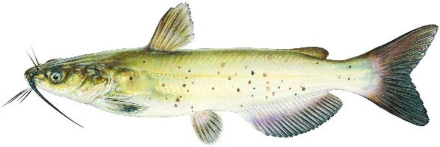 State Fish Of Nebraska