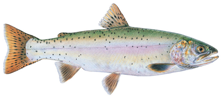 State Fish Of Nevada
