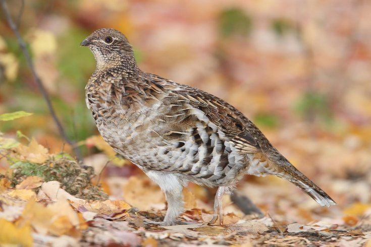 State Bird Of Pennsylvania