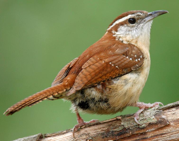 State Bird Of South Carolina