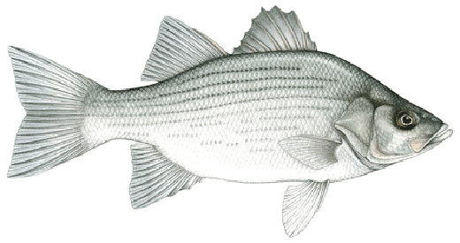 State Fish Of Oklahoma