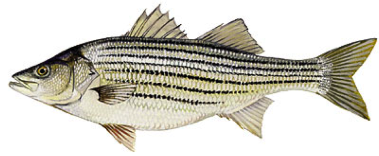 State Fish Of Rhode Island