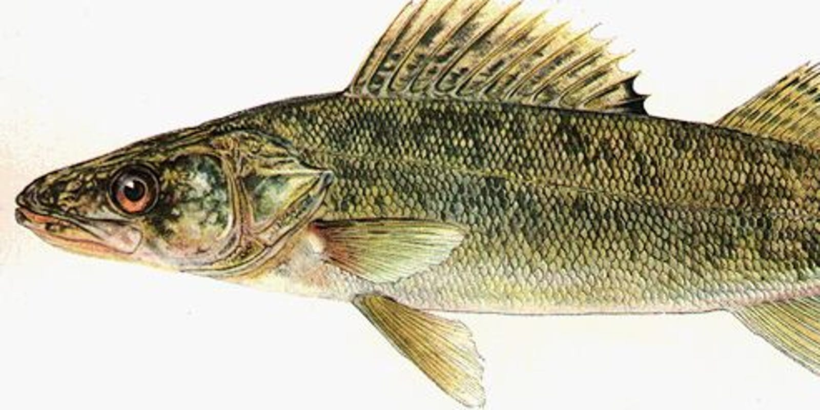State Fish Of South Dakota