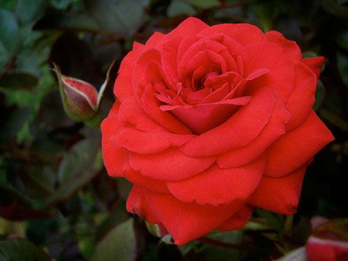 State Flower Of Oklahoma