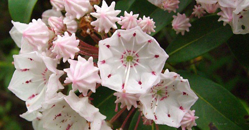 State Flower Of Pennsylvania