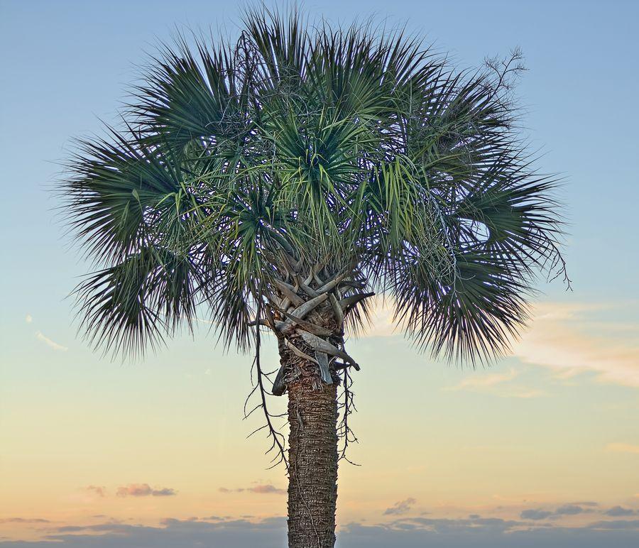 State Tree Of South Carolina