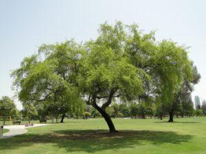 National Tree of Qatar   Symbols of Qatar