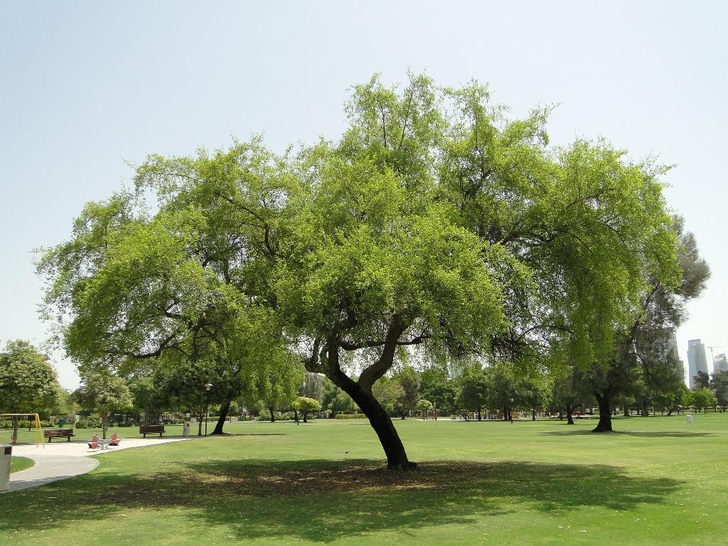 National Tree of Qatar | Symbols of Qatar