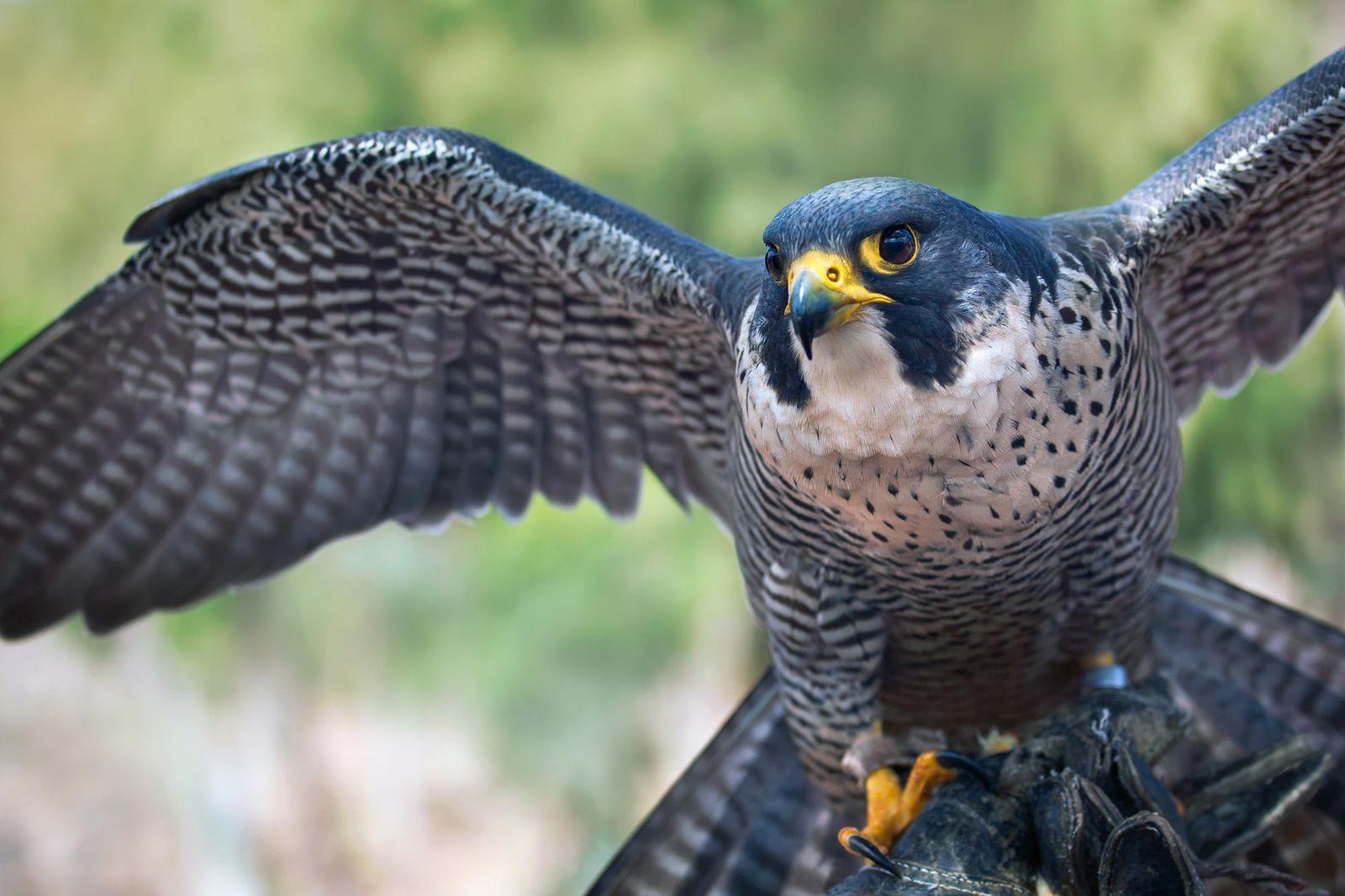 National Bird of Qatar | Symbols of Qatar
